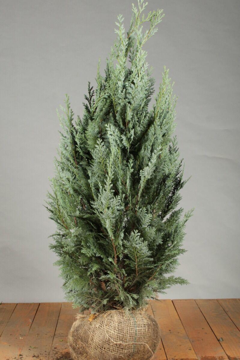 Blaue Scheinzypresse (80-100 cm) Extra Qualtität Clod
