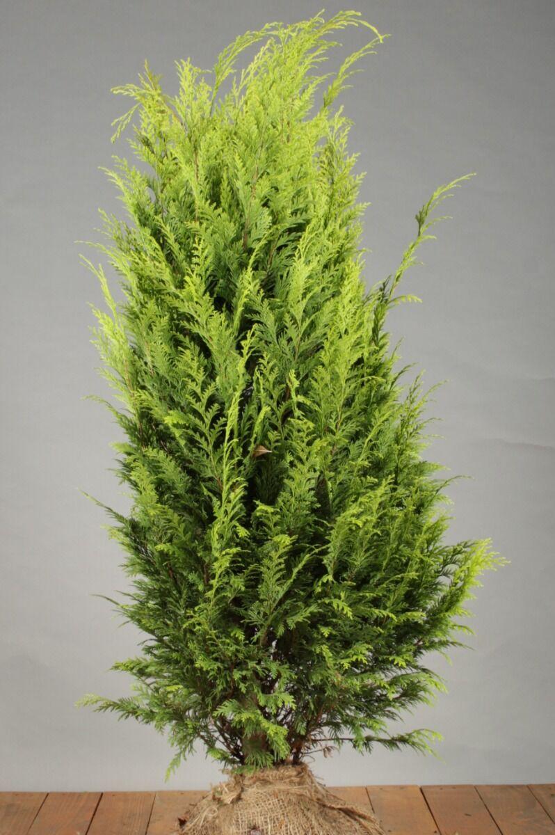Gelbe Scheinzypresse (100-125 cm) Extra Qualtität Clod