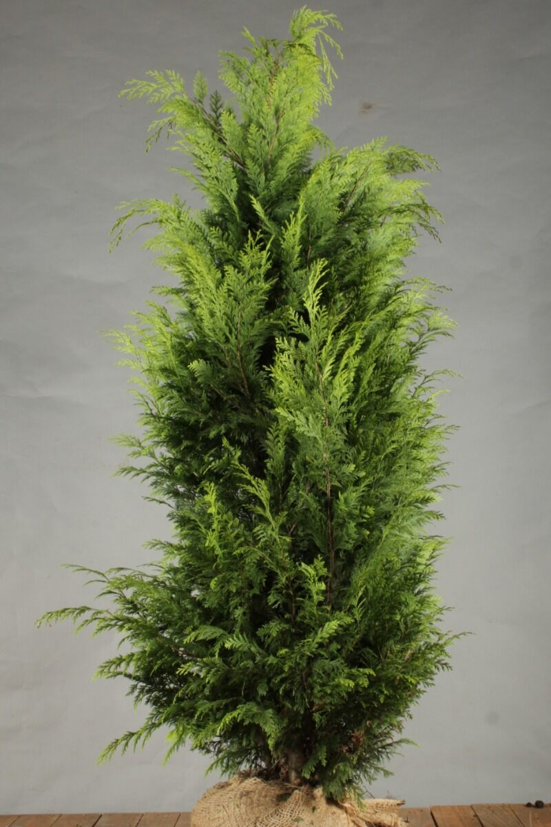 Gelbe Scheinzypresse (150-175 cm) Clod