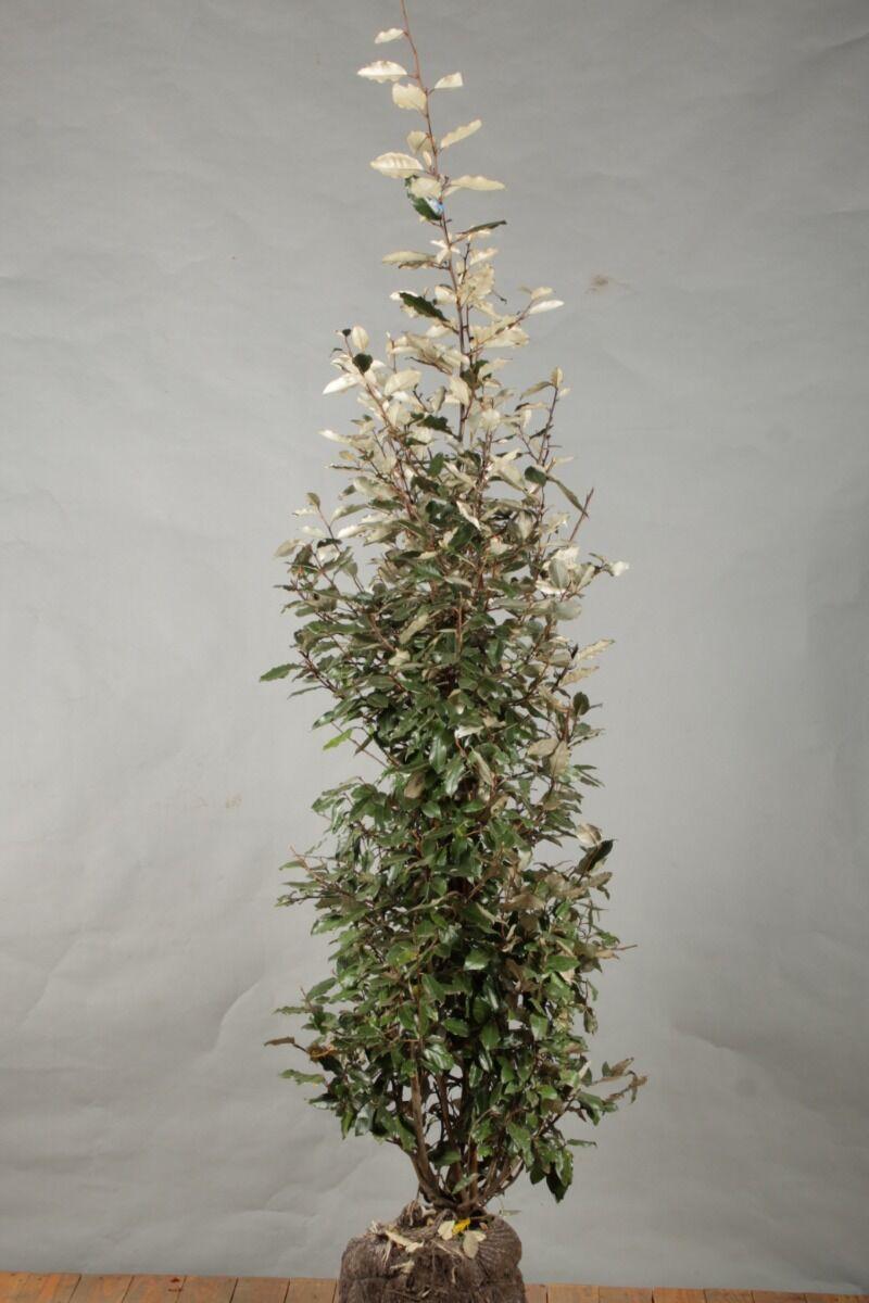Oelweide (125-150 cm) Clod
