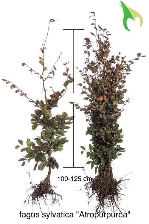 Blutbuche (100-125 cm) Bare root
