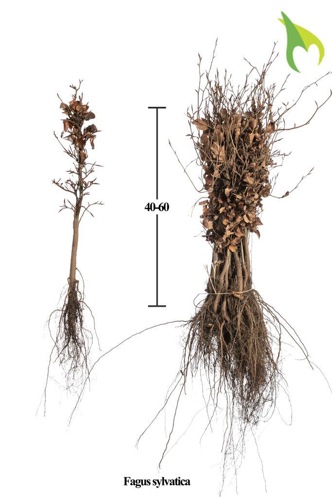 Rotbuche (40-60 cm) Bare root