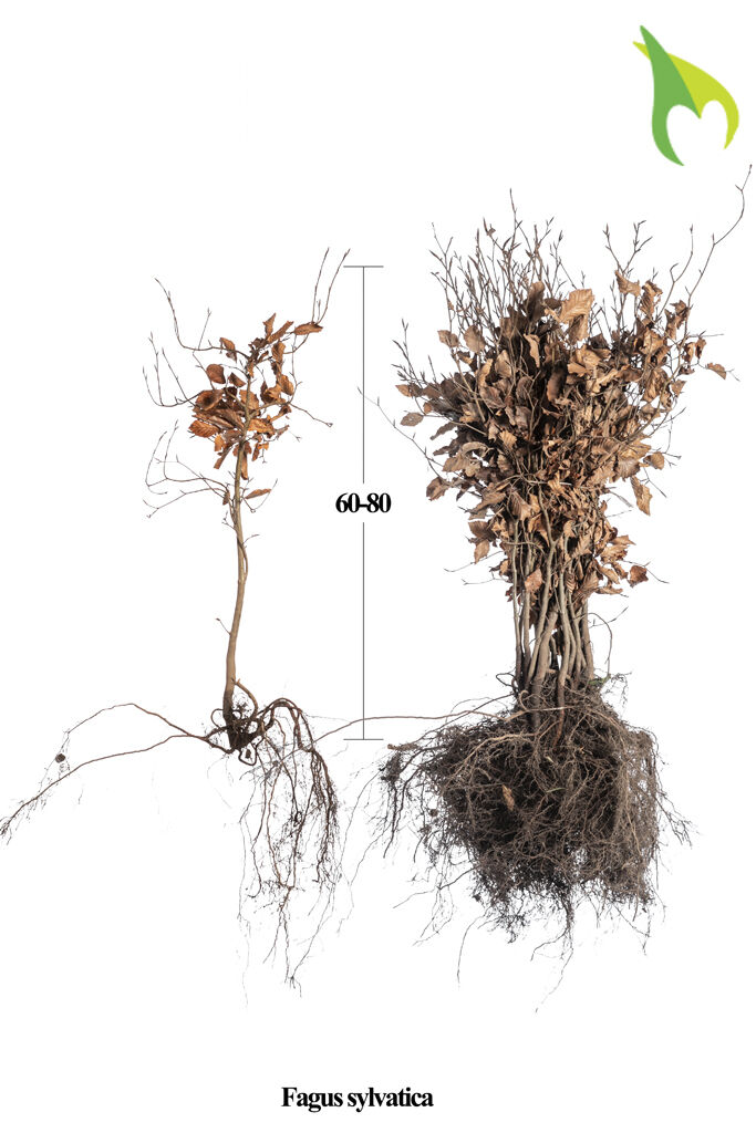 Rotbuche (60-80 cm) Bare root