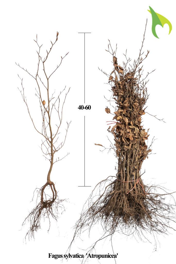 Blutbuche (40-60 cm) Bare root