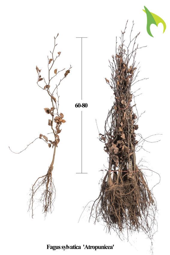 Blutbuche (60-80 cm) Bare root