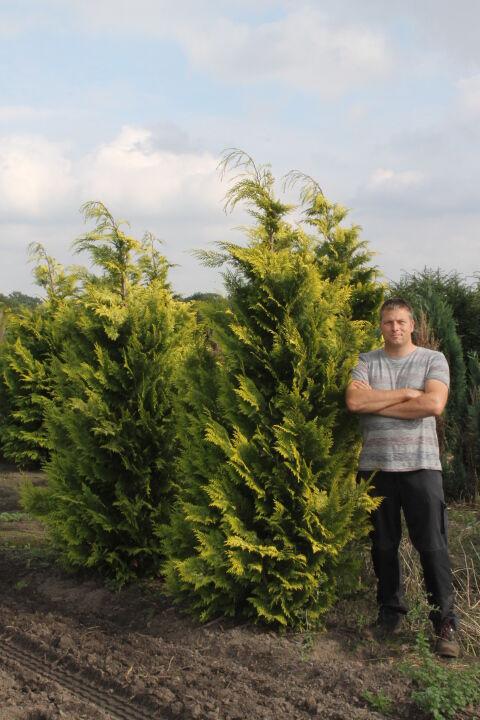 Gelbe Scheinzypresse (200-225 cm) EXTRA Clod