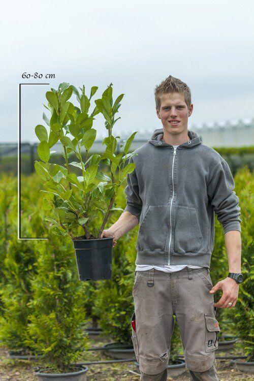 Großblättriger Kirschlorbeer (60-80 cm) Pot