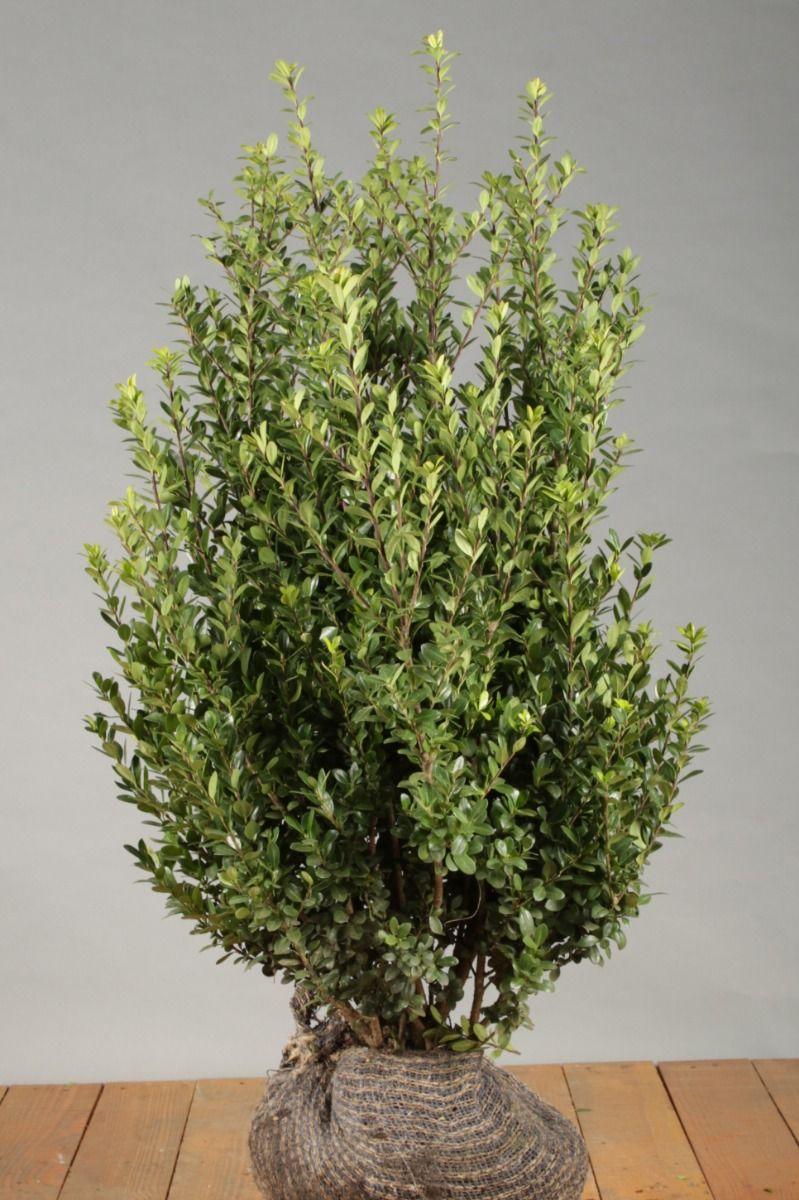 Japanische Stechpalme (60-80 cm) Clod