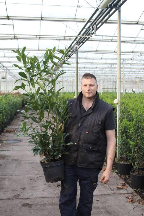 Kirschlorbeer 'Caucasica' (100-125 cm) Pot