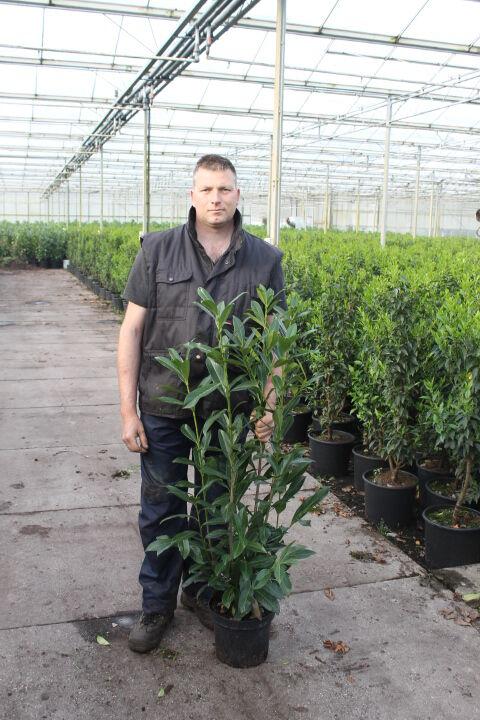 Kirschlorbeer 'Caucasica' (80-100 cm) Pot