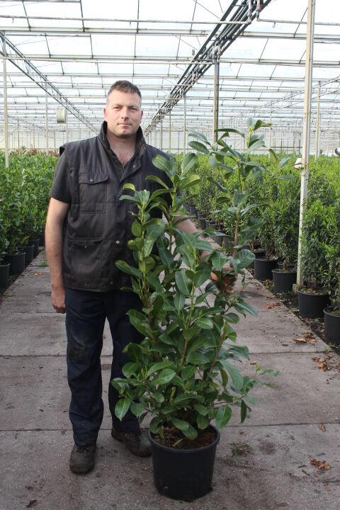Kirschlorbeer 'Novita' (125-150 cm) Pot