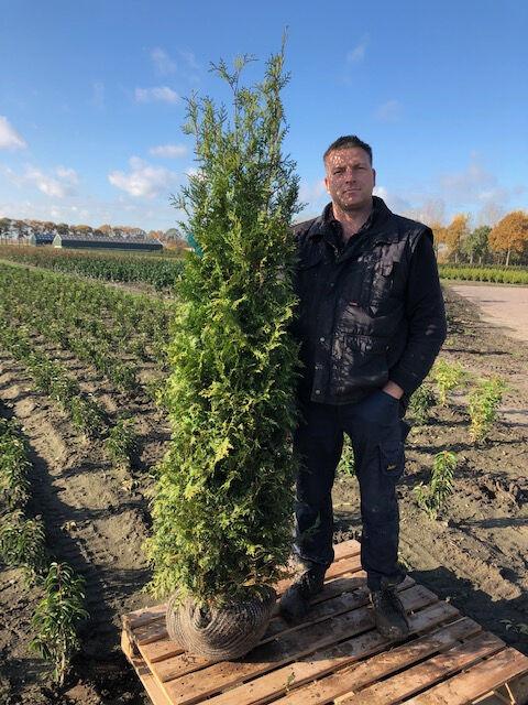Lebensbaum 'Brabant' (175-200 cm) Extra Qualtität Clod