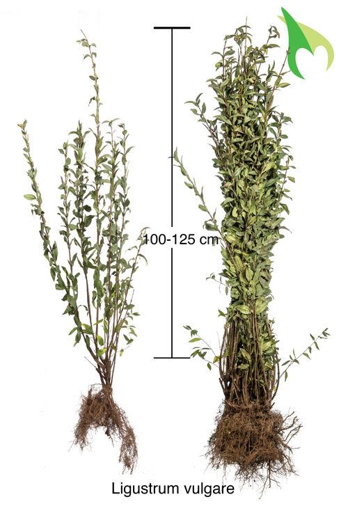 Gemeiner Liguster (100-125 cm) Bare root