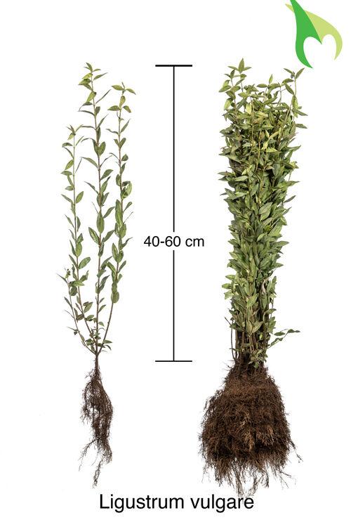 Gemeiner Liguster (40-60 cm) Bare root
