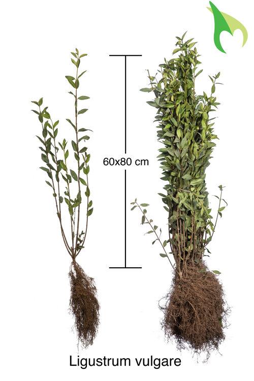 Gemeiner Liguster (60-80 cm) Bare root