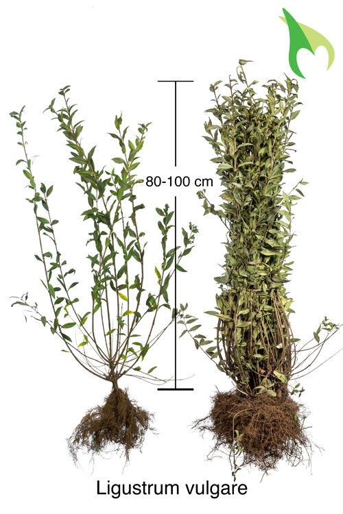 Gemeiner Liguster (80-100 cm) Bare root