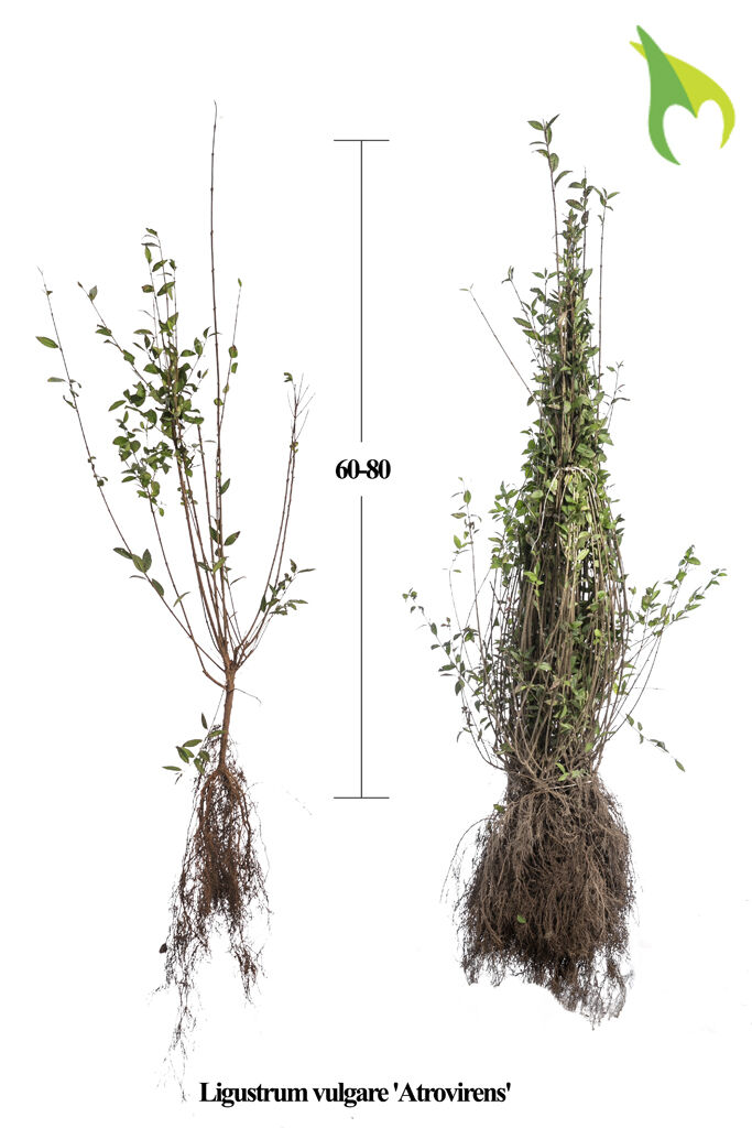 Wintergrüner Liguster 'Atrovirens' (60-80 cm) Bare root