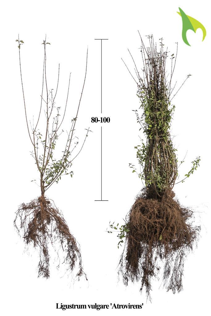 Wintergrüner Liguster 'Atrovirens' (80-100 cm) Bare root