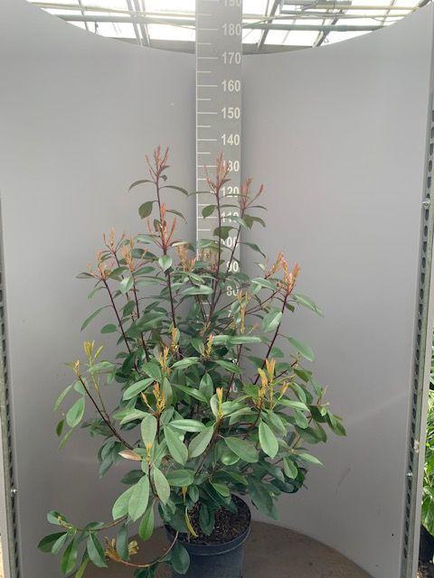 Glanzmispel (100-125 cm) Pot