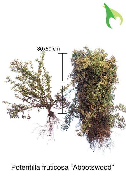 Fingerstrauch 'Abbotswood' (30-50 cm) Bare root