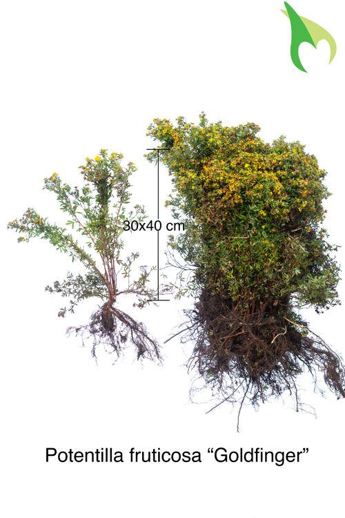 Fingerstrauch 'Goldfinger' (30-50 cm) Bare root