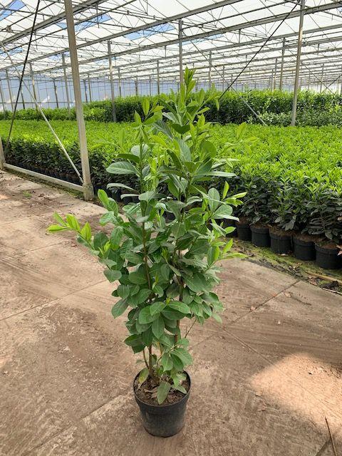Großblättriger Kirschlorbeer (100-125 cm) Pot