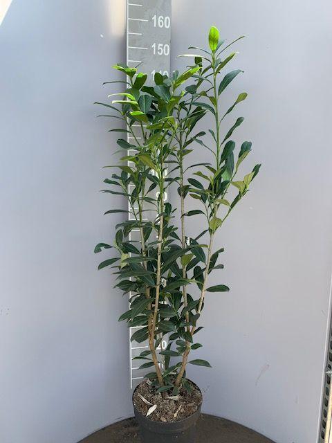 Kirschlorbeer 'Caucasica' (125-150 cm) Pot