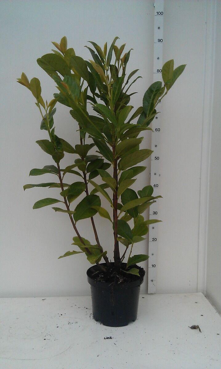 Kirschlorbeer 'Novita' (60-80 cm) Pot