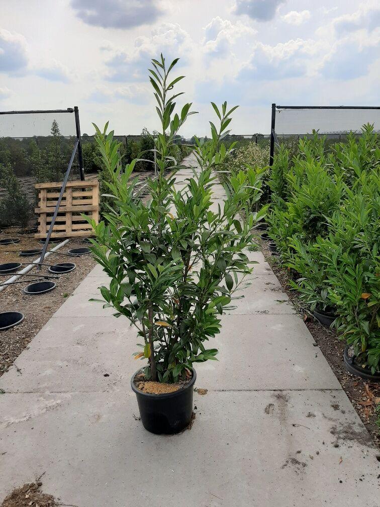 Kirschlorbeer 'Caucasica' (175-200 cm) Pot