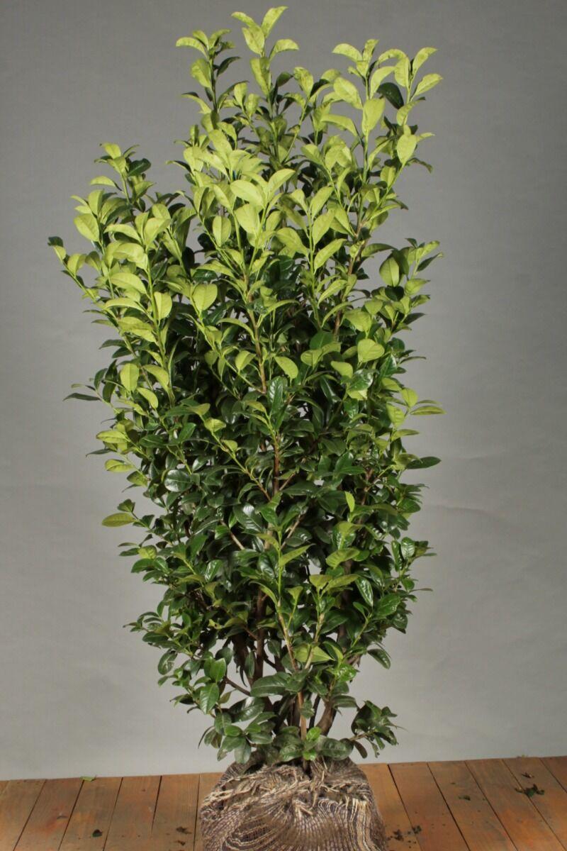 Kirschlorbeer 'Ani' (125-150 cm) Extra Qualtität Clod