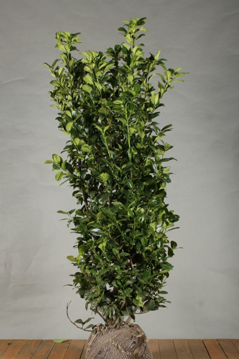 Kirschlorbeer 'Ani' (150 -175 cm) Extra Qualtität Clod