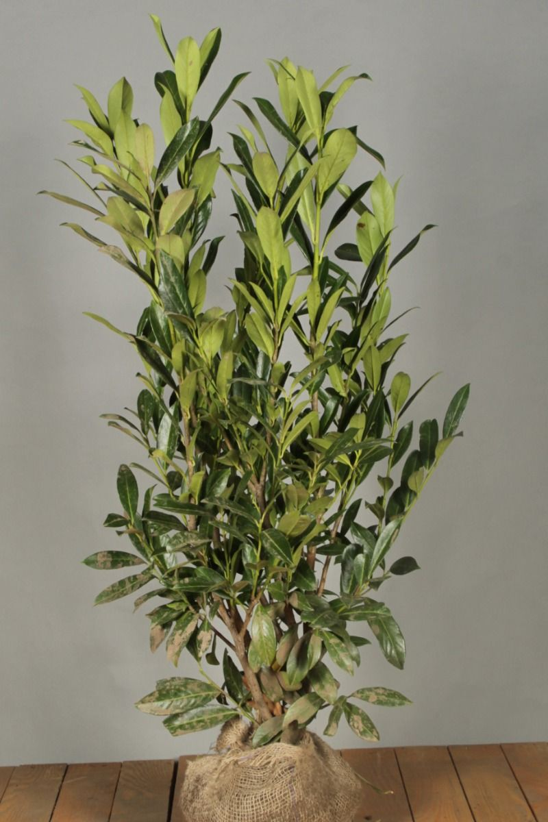 Kirschlorbeer 'Caucasica' (100-125 cm) Extra Qualtität Clod