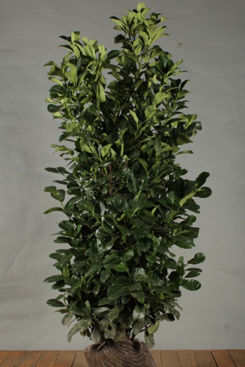 Kirschlorbeer 'Etna' (150 -175 cm) Extra Qualtität Clod