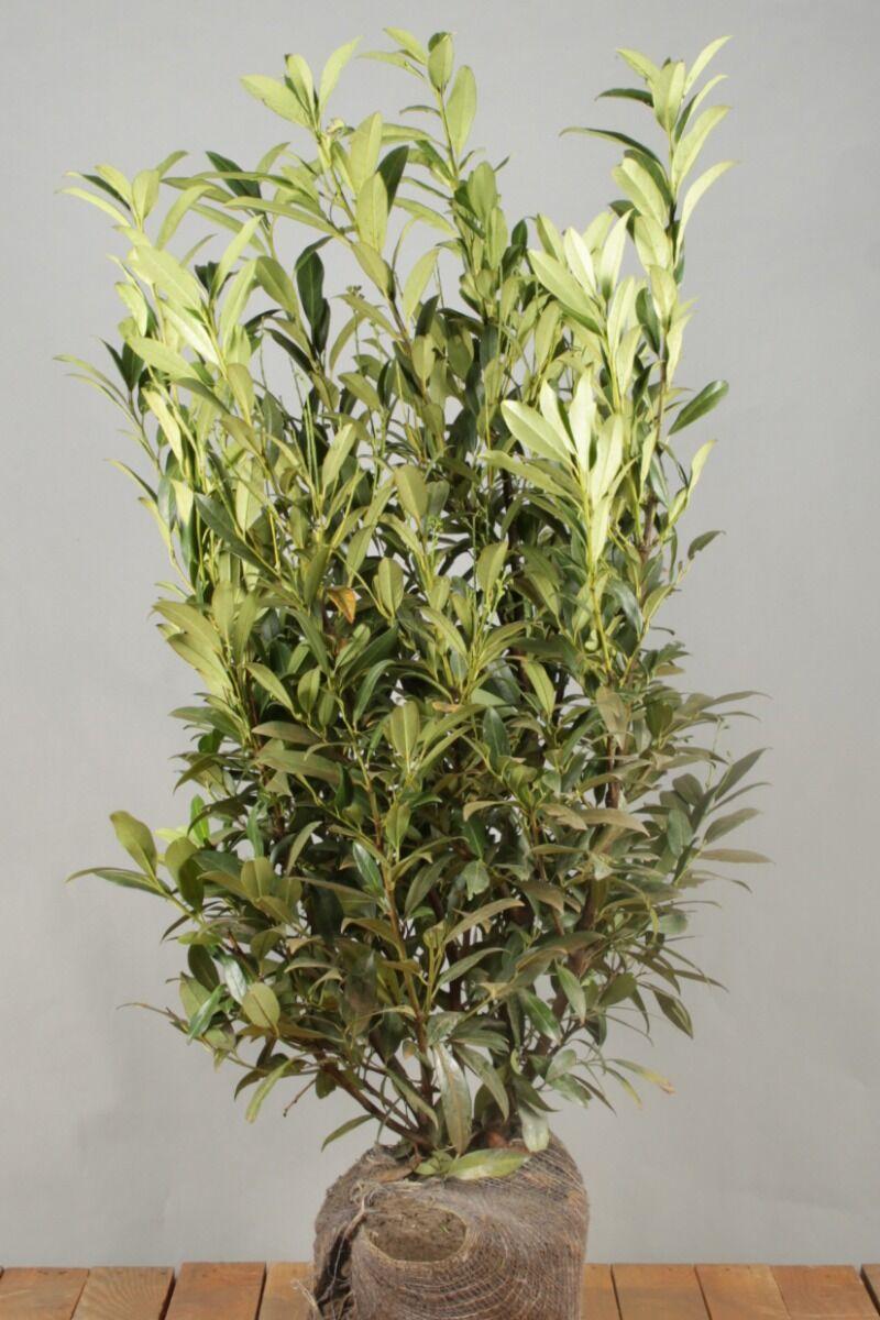 Kirschlorbeer 'Herbergii' (100-125 cm) Extra Qualtität Clod