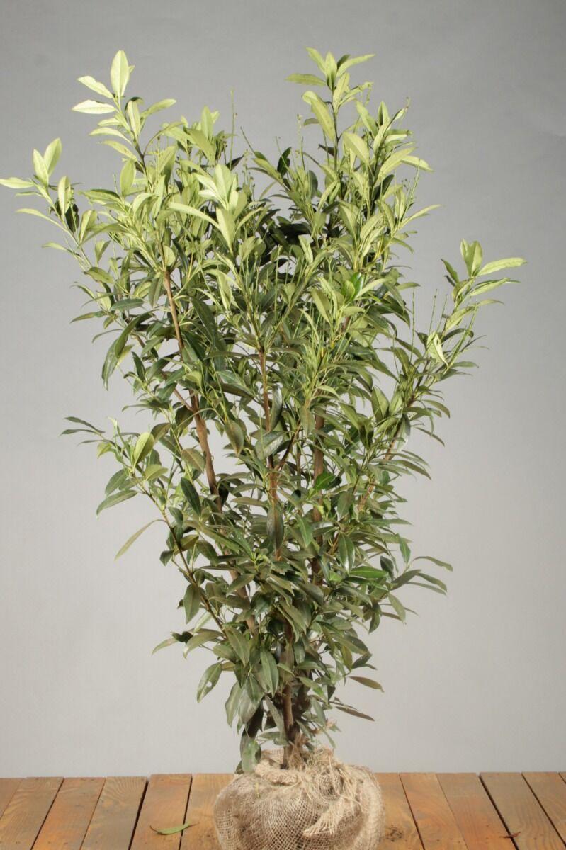Kirschlorbeer 'Herbergii' (125-150 cm) Extra Qualtität Clod