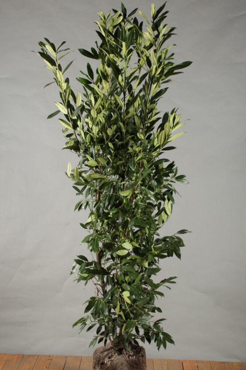 Kirschlorbeer 'Herbergii' (150-175 cm) Clod
