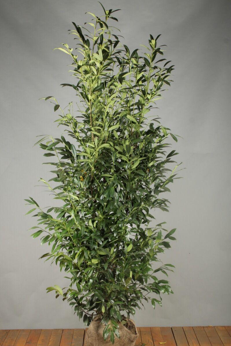 Kirschlorbeer 'Herbergii' (200-225 cm) Extra Qualtität Clod