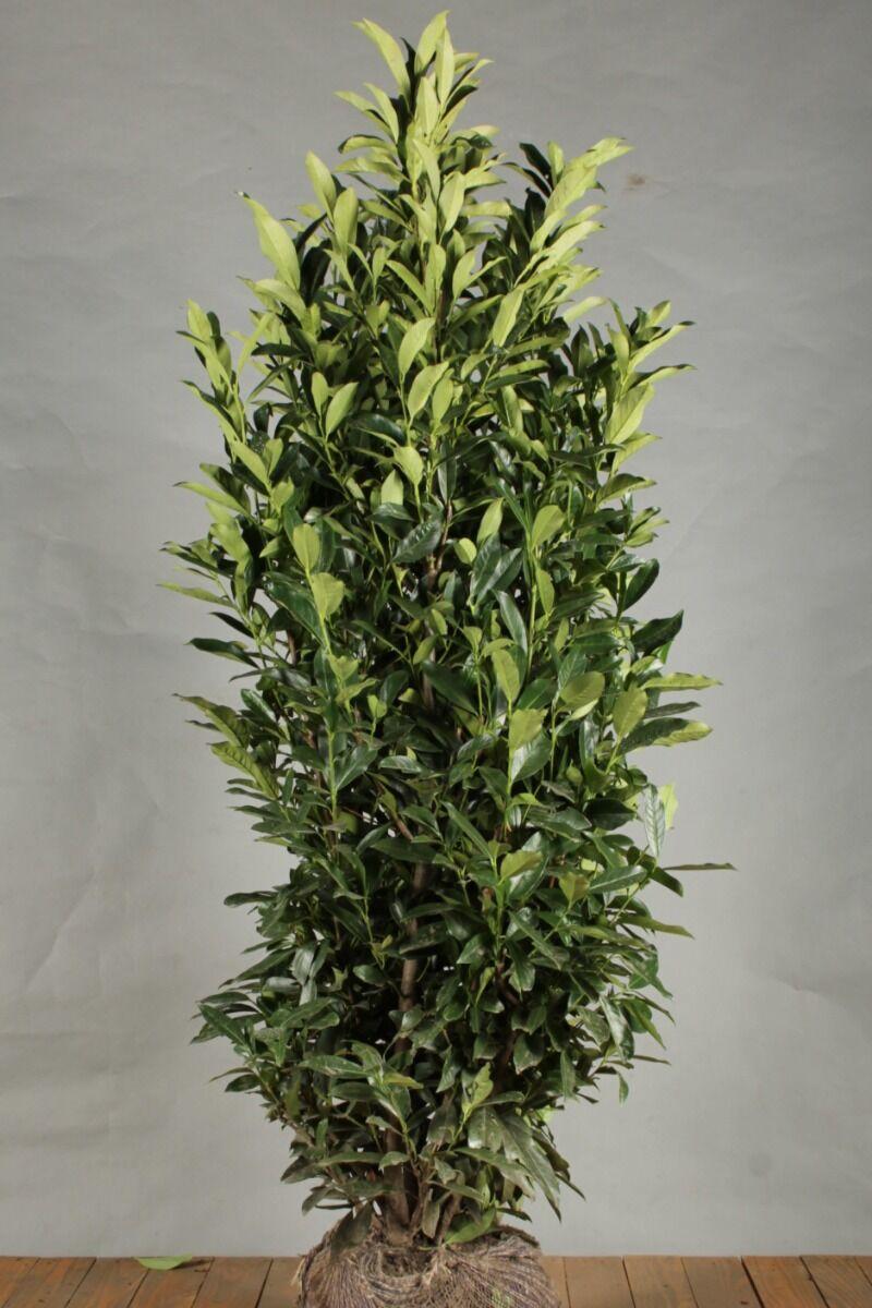 Kirschlorbeer 'Reynvaanii' (150-175 cm) Clod