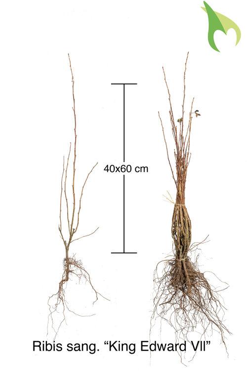 Blut-Johannisbeere 'King Edward VII' (40-60 cm) Bare root