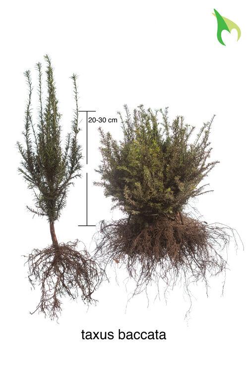 Gemeine Eibe (20-30 cm) Bare root