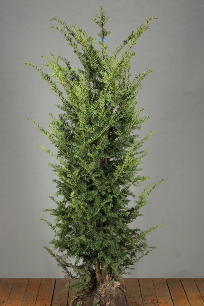 Eibe (150-175 cm) Extra Qualtität Clod