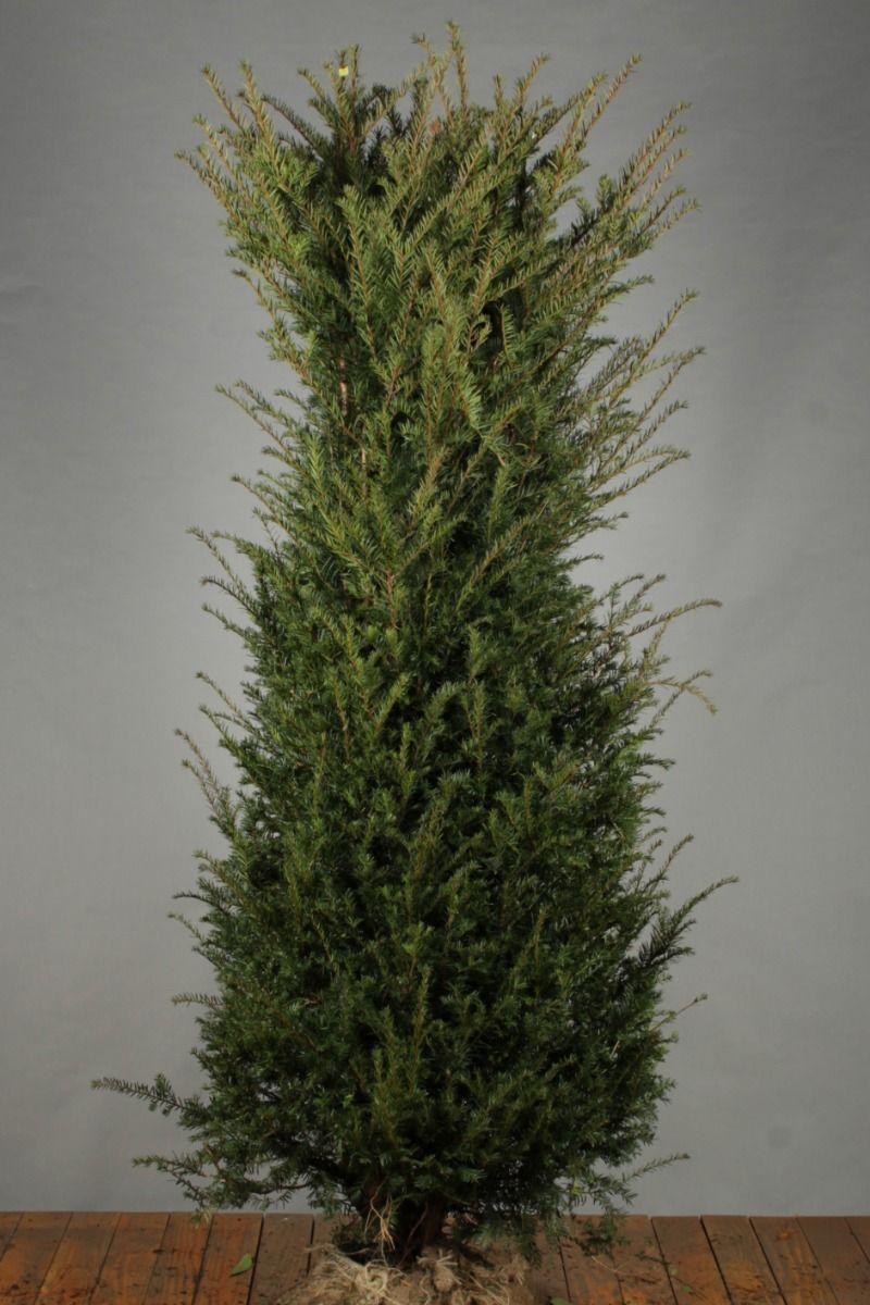 Eibe (175-200 cm) Extra Qualtität Clod