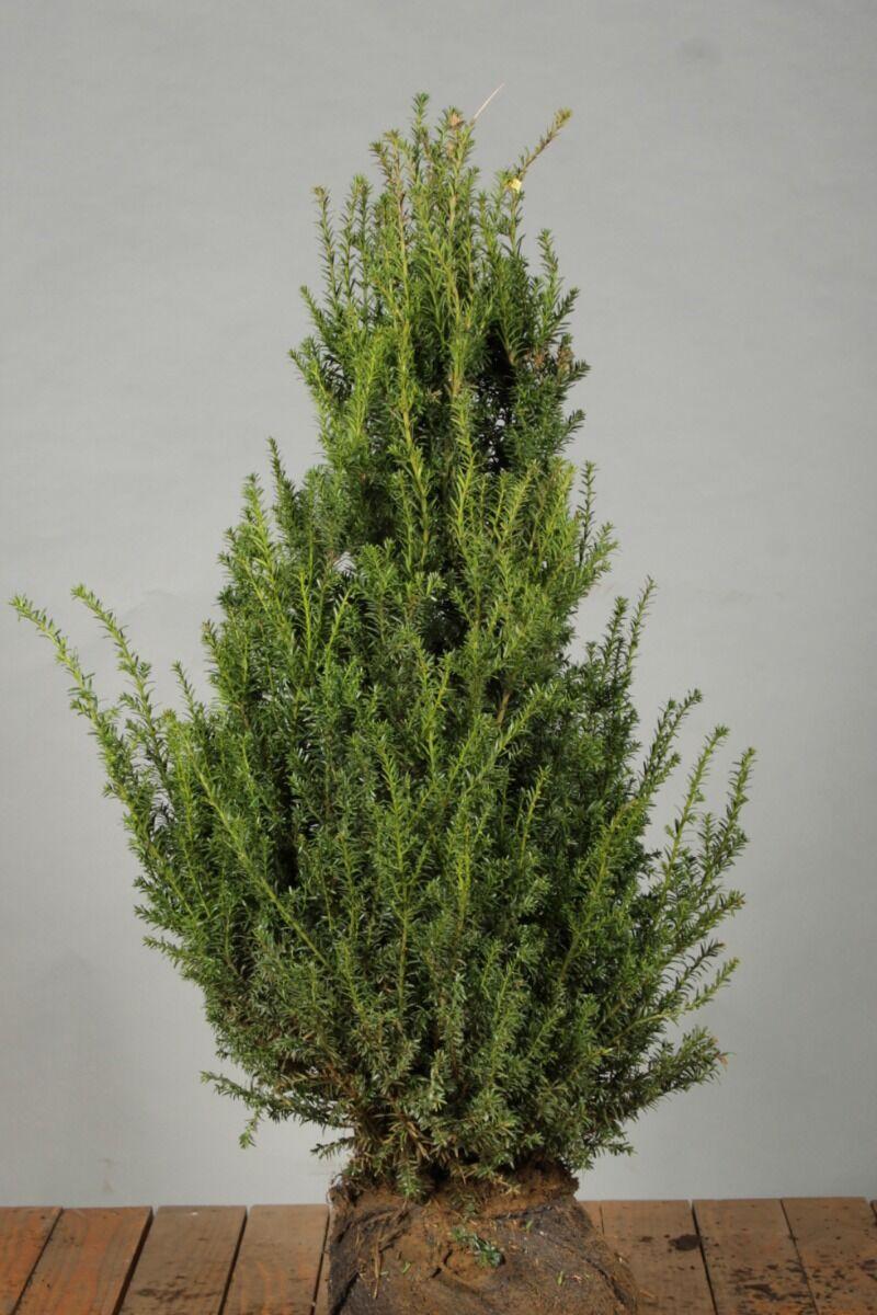 Eibe (60-80 cm) Extra Qualtität Clod