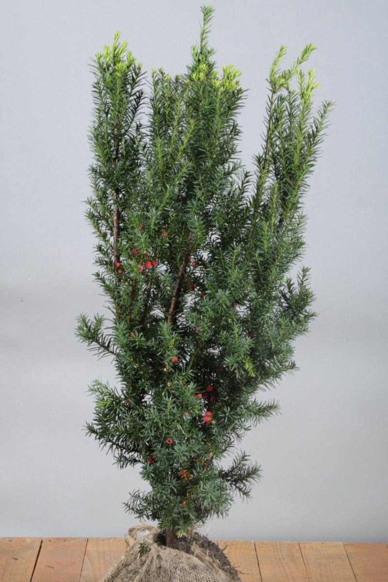 Becher-Eibe 'Hicksii' (80-100 cm) Clod