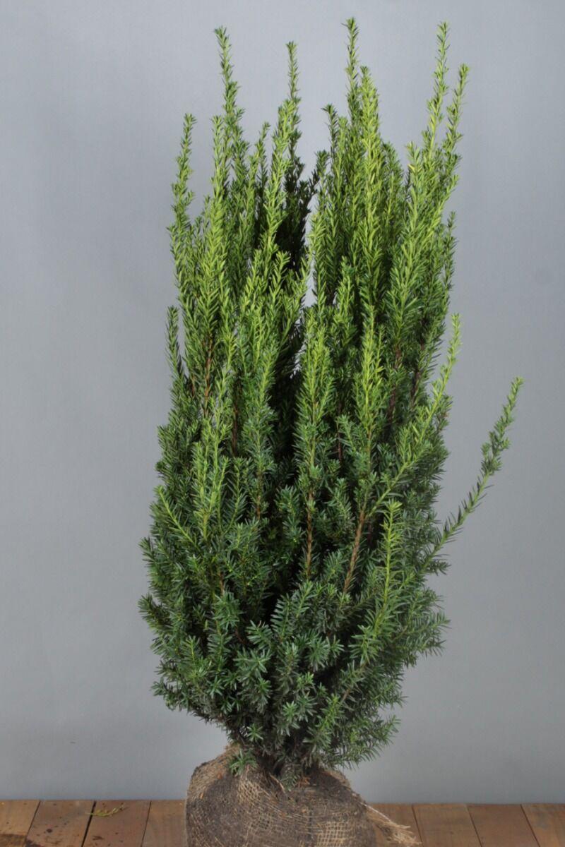 Becher-Eibe 'Hilli' (100-125 cm) Extra Qualtität Clod