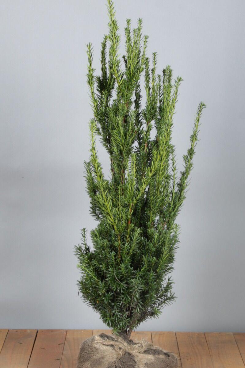 Becher-Eibe 'Hilli' (60-80 cm) Clod