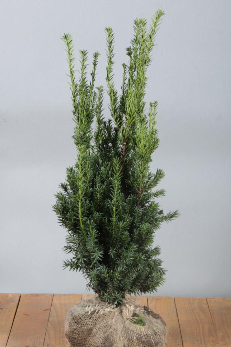 Becher-Eibe 'Hilli' (80-100 cm) Clod