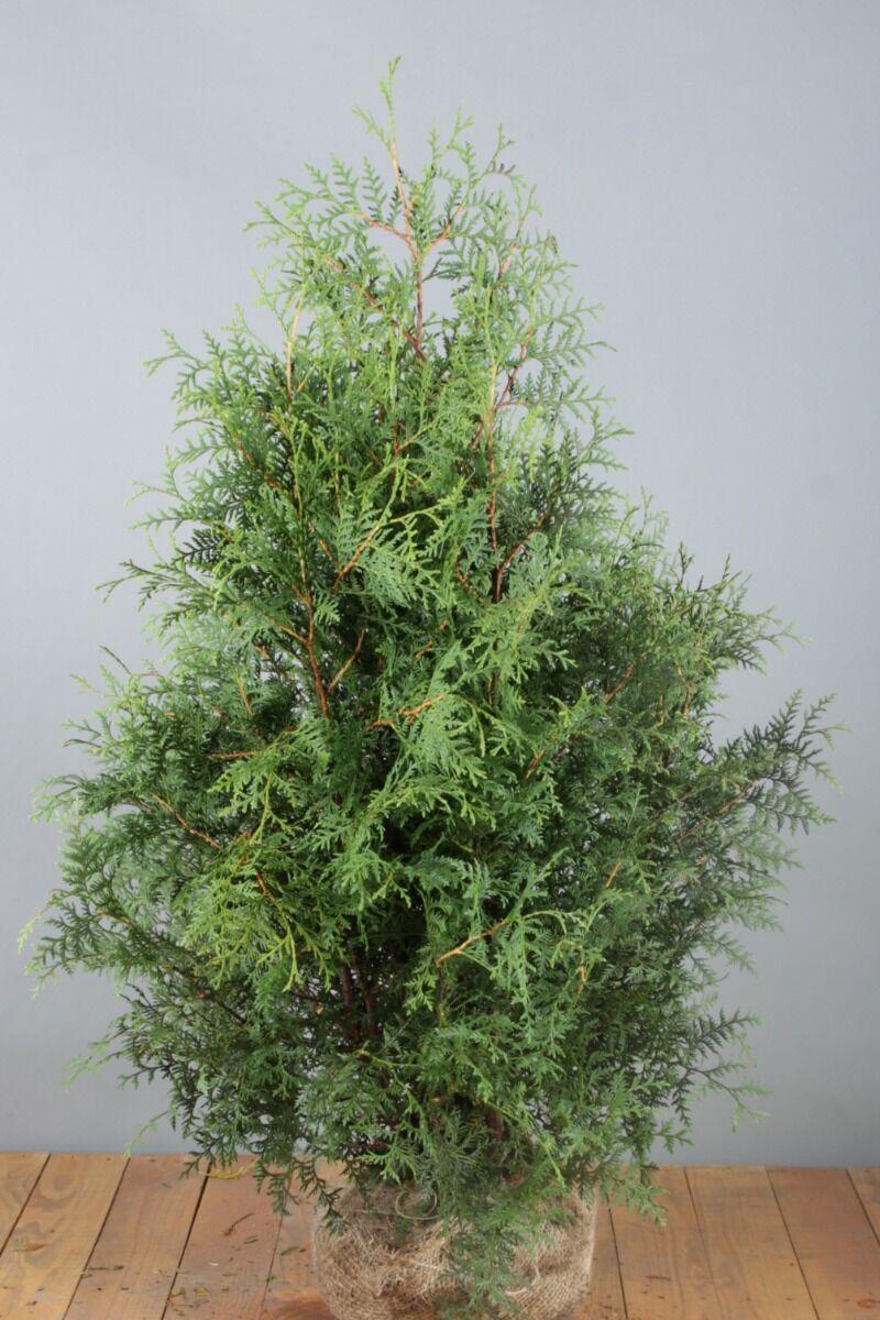 Lebensbaum 'Brabant' (100-125 cm) Extra Qualtität Clod