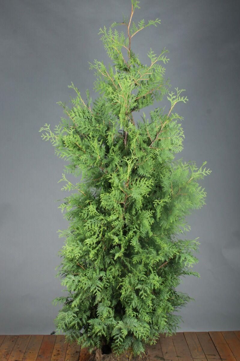 Lebensbaum 'Brabant' (200-225 cm) Extra Qualtität Clod