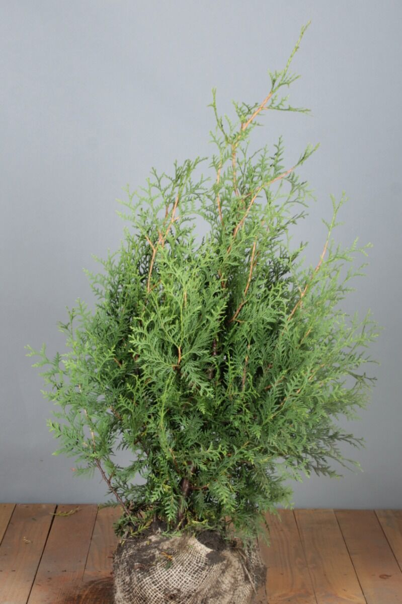 Lebensbaum 'Brabant' (80-100 cm) Extra Qualtität Clod